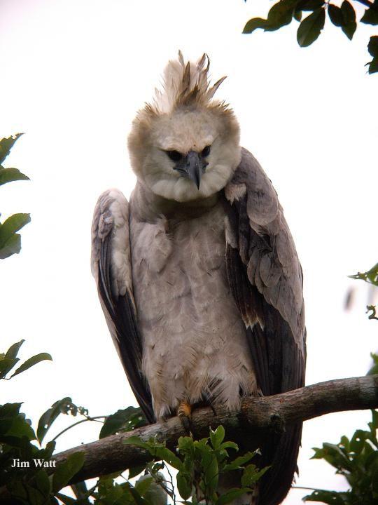 PRODUCTO: Harpia harpuja es un águila de Venezuela que es una especie en peligro de extinción.