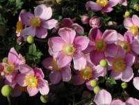 Anemone hupehensis 'Praecox' - Frühe Herbst-Anemone