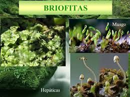 Briófitas pertencem ao reino Plantae, são eucariontes, fotossintetizantes e multicelulares, não possuem vasos condutores de seiva, nem estruturas rígidas de sustentação. Assim, o transporte de substâncias se dá por difusão e ocorre de forma lenta.  São encontradas predominantemente em ambientes úmidos, porém podem ser vistas em água doce, em locais extremamente secos ou mesmo nos polos da Terra. Estão divididas em três filos: Bryophyta, Hepatophyta e Anthocerophyta;