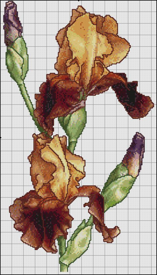 brown irises