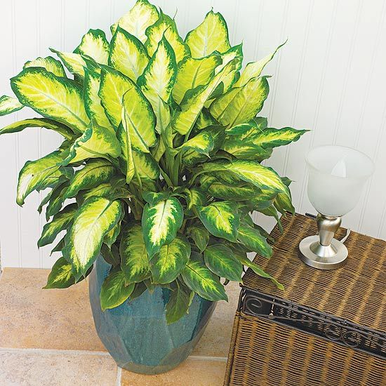 Dieffenbachia: Low to medium light 60-80 degres ,keep evenly moist. grows to 6feet tall and 3 feet wide. NOTE: All parts of this plant are poisonous and can cause severe irritation of the lips,tongue,and throat if eaten or chewed by pets or children*************** >>>ew328**************