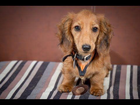 Marvin Miniature Dachshund Puppy 2 Weeks Residential Dog