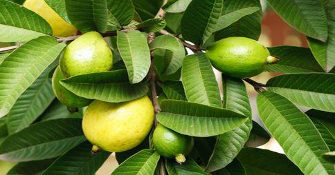 ¿sabía que las hojas de guayaba también poseen muchos beneficios?