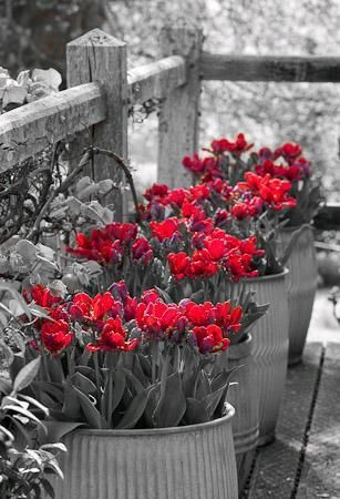 Who doesn't love red tulips!  #LGLimitlessDesign & #Contest