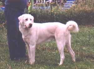 Akbash Dog Breed Information and Pictures