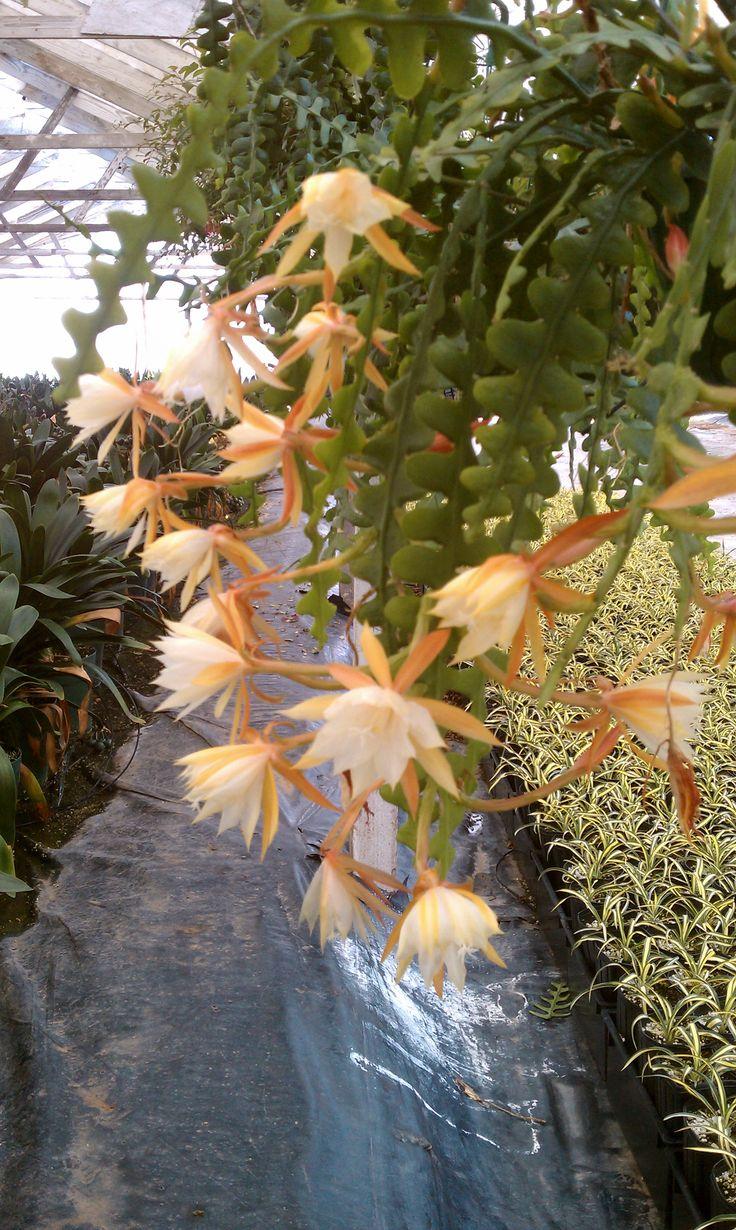 Flowers unique flowers beautiful flowers orchid cactus cactus flower - Ricrac Flowers Orchid Cactuscactus Plantscactus Flowerrare Flowersunique Flowersexotic Flowershanging Succulentshanging