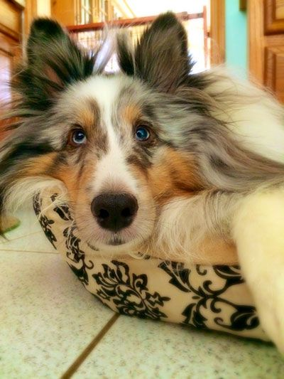 Best 25 Shetland Sheepdog Puppies Ideas On Pinterest