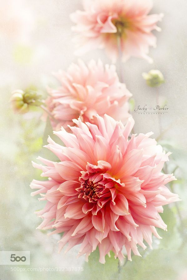 Dahlia 'Fairway Spur' by JackyParker. Please Like http://fb.me/go4photos and Follow @go4fotos Thank You. :-)