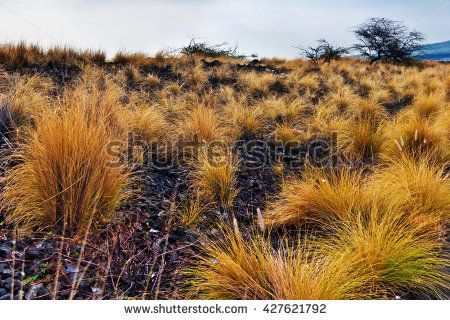 https://thumb9.shutterstock.com/display_pic_with_logo/60854/427621792/stock-photo-landscape-with-bushes-of-grass-on-volcanic-soil-in-gloomy-weather-big-island-hawaii-usa-427621792.jpg