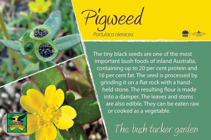 Bush tucker sign, pigweed