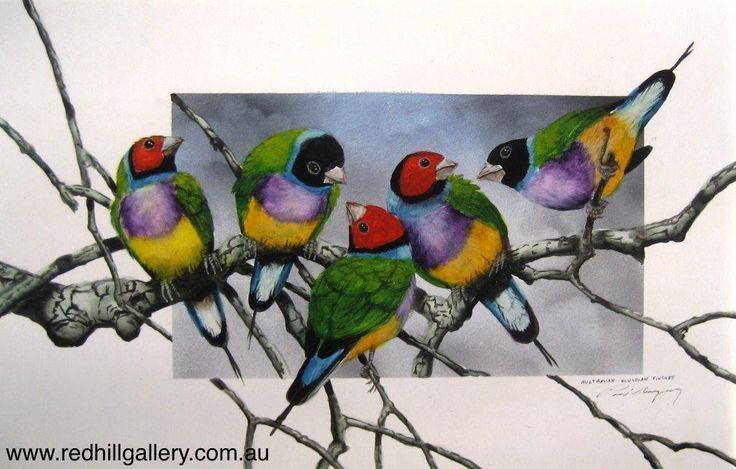Paul Margocsy 'It's My Party and I'll Cry If I Want To, Aus Gouldian Finches' 34x23cm. 61 Musgrave Road, Red Hill Brisbane, QLD, Australia. art@redhillgallery.com.au