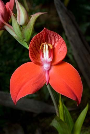 "Disa Madiba's Pride 'Exotic Red' won ""Best in Show Trophy; Disa"" at the 19th World Orchid Conference. The cross, created by keynote speaker, Michael Tibbs, is - Disa Pride of Constantia x Disa Unifoam 'Majestic'. The hybrid was named for Nelson Mandela. Madiba is his local African name by which he is known in South Africa."