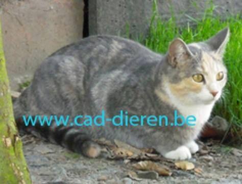 Nina #VERMIST #kattin te #Reet (Antw) sinds 16/07/2014  http://users.telenet.be/coordinatie.dierenbescherming.antwerpen1/wr_cad/2014/wr_2014_vk_tijger&wit.html door: cad  #Kattin gesteriliseerd Kortharig Tijger met ros Wit aan snuit, borst, buik, voorpoten voeten, achterpoten sokken Reet Eikenstraat