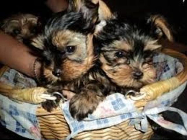 Home Raised Teacup Yorkshire Terrier Puppies