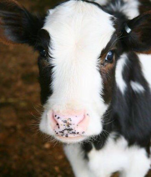 freckle nose baby cow ~ 'Sweet Smooches' image via cutestpaw.com ~ animal close up ~