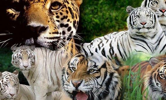 Dünyanın en büyük kedilerinin resimleri  Büyük kediler dediğimiz, aslan,kaplan,pars,jaguar,çita,panter,leopar gibi hayvanlardır. Bu hayvanların kaliteli ve yakın çekim resimleri bu galeride bulunuyor.               Farklı Sosyal İçerikler                       2 Yaş Sendromu   ... Eklendi, Daha fazlası için Soosyo'ya Gel!