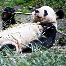 Visit explore.org for live cam of panda's in China-too adorable for words.