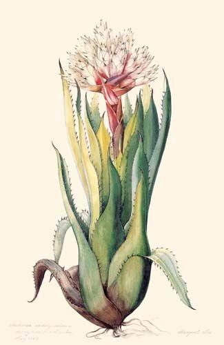 """Aechmea rodriguesiana,"" Bromeliaceae, 1977, Margaret Mee."