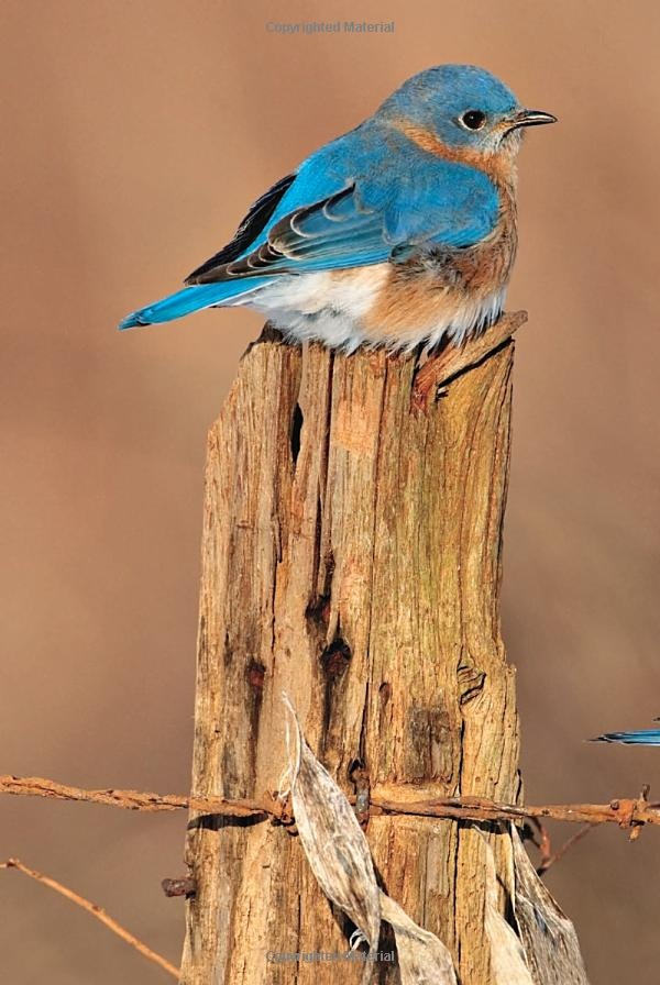 17 Best images about Birds of North America on Pinterest ...
