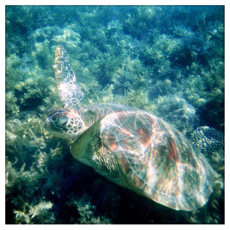 Snorkeling with Turtles. Hamilton Island. December 2013.