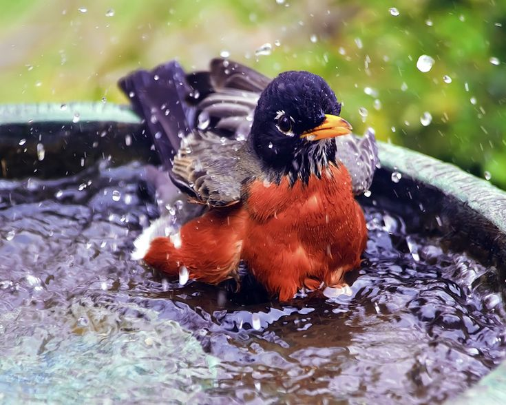 AMERICAN ROBIN IN THE BIRD BATH | American Robins ...