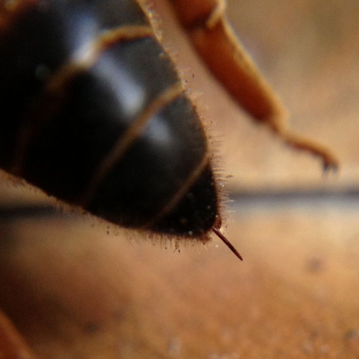 Queen bee stinger - 6 THINGS YOU DIDN'T KNOW ABOUT QUEEN BEES