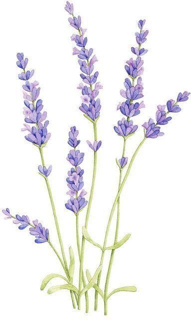 Bildergebnis für das Zeichnen von Lavendel #watercolorarts