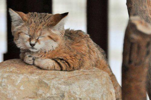 Братья наши меньшие: и кому рассказываю?   Песчаная кошка ...