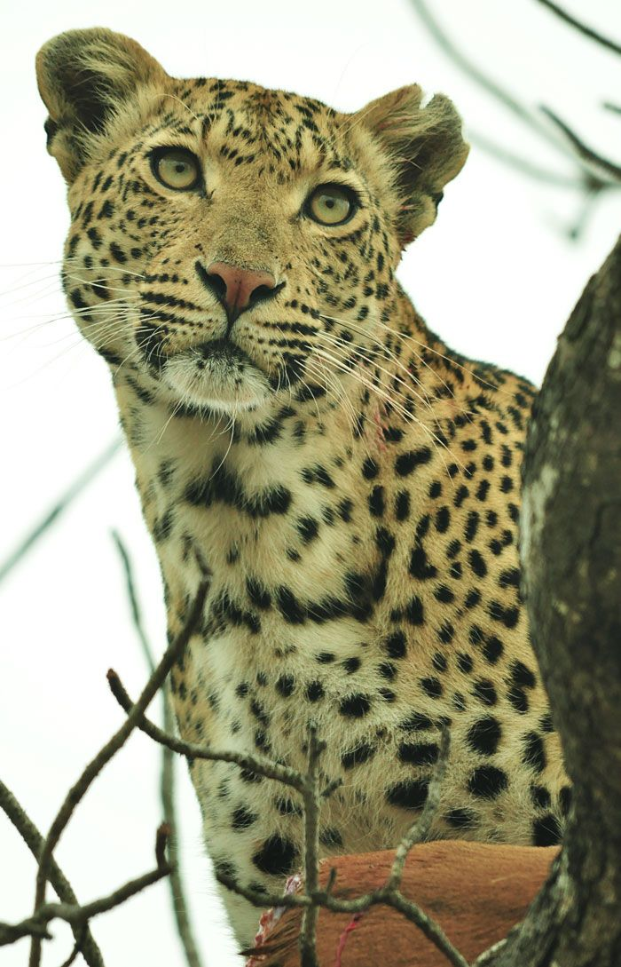 Maliliwane female or Kwatile, August 2011. She was on an impala kill and calling for her son. Photo by John Holley.