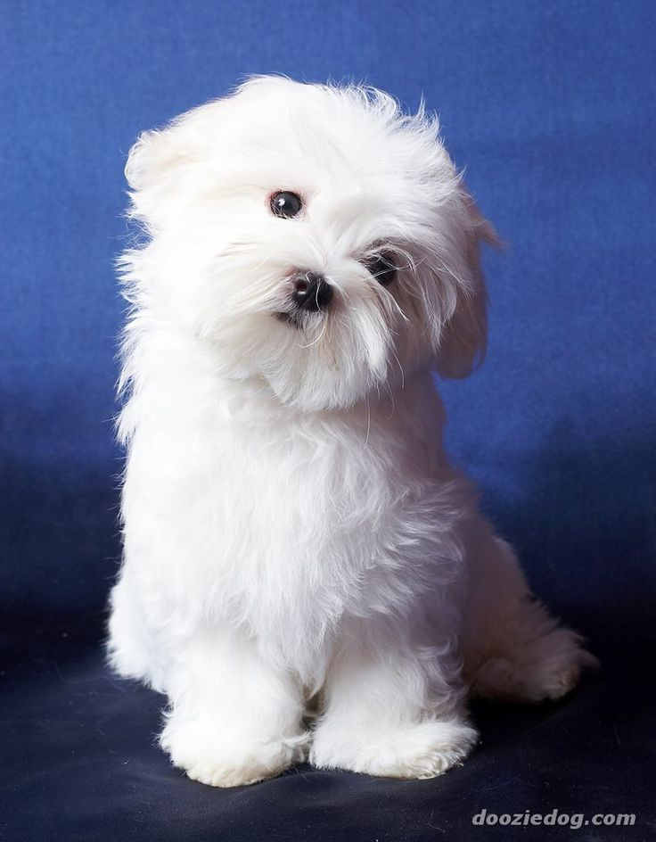 Cute Maltese Haircuts 2018 Images Pictures Cute Maltese