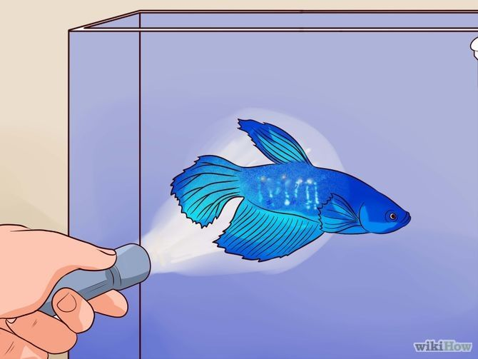 Tell if a Betta Fish Is Sick  Step 17