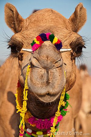 """""""C'mere lil' Camel... I want to knit your fur""""   love, Beatricey1  Decorated Camel by Nilanjan Bhattacharya, via Dreamstime"""