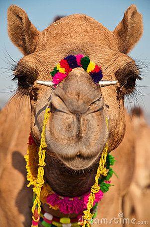 Decorated Camel by Nilanjan Bhattacharya, via Dreamstime