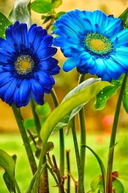 Blue gerbera daisies wallpaper