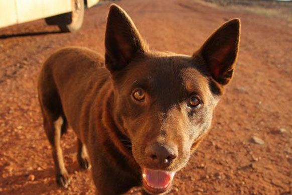 Red Dog, Red Dog -- The late kelpie Koko brought real bark - and heart - to the outback. Rest in peace, Koko.
