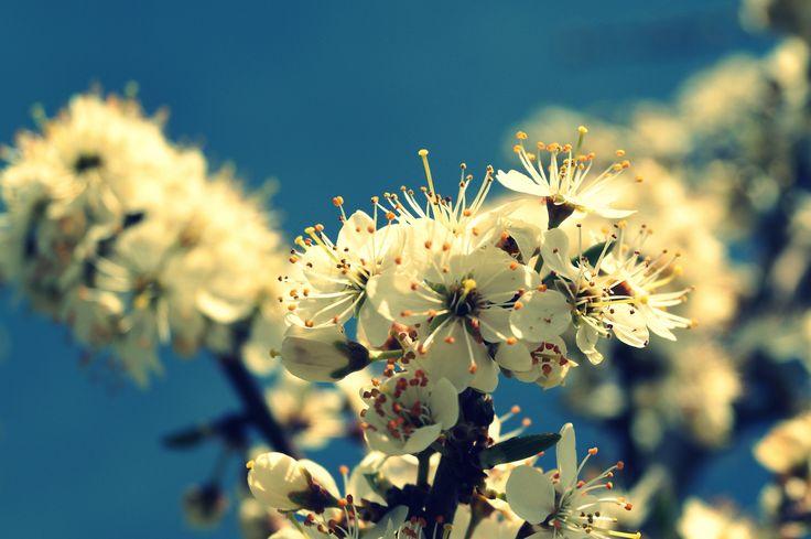 Kirschblüte Foto: Stephanie Limberg