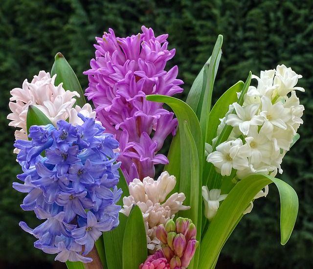 Free Image On Pixabay Fruhlingsbluher Hyacinth Spring Com Imagens