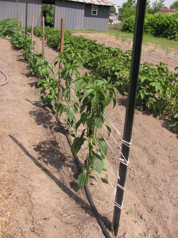 Stakes Twine Cheap Tomato Support For Hubby