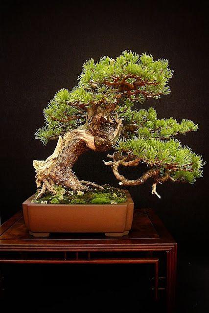Les 25 meilleures id es concernant entretien bonsai sur for Entretien bonsai interieur