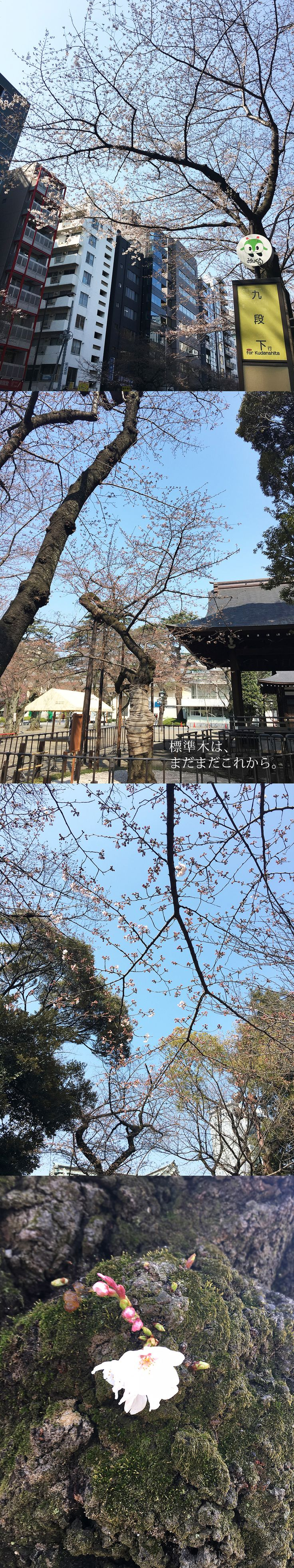 【編集者M】今日の桜のスナップです!靖国神社のつぶ子ちゃん1号は今日もうつむき気味。もしかして恥ずかしがり屋さんなのかな?標準木 はまだまだこれからですが、他の木は少しずつ咲きはじめています✨靖国通りは順調に咲きはじめていますお花見が楽しみですね!