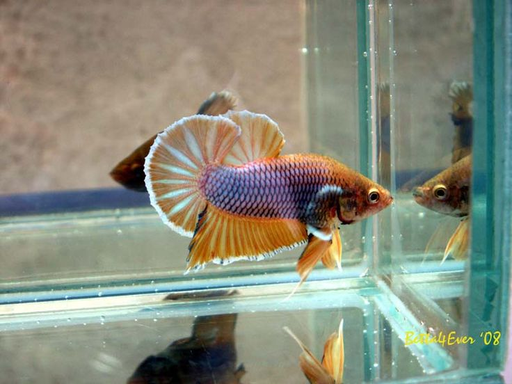 456 best bettas images on pinterest fish aquariums fish for Best water for betta fish