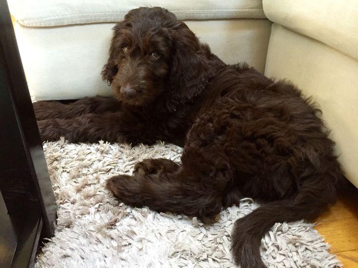 Medium Chocolate Goldendoodle puppy named Wrigley!