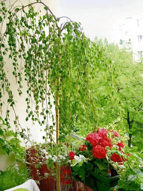 Zieleń płaczącej brzozy 'Youngii' zlewa się z koronami ulicznych drzew. Dzięki temu można zapomnieć, że balkon jest bardzo malutki.