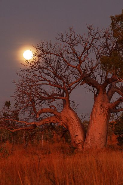 Baobab tree.  We have this tree around the Queen's Park Savannah in Trinidad and Tobago.  However, it is exotic to Trinidad and Tobago so it is great to see it in what looks like its natural environment!!