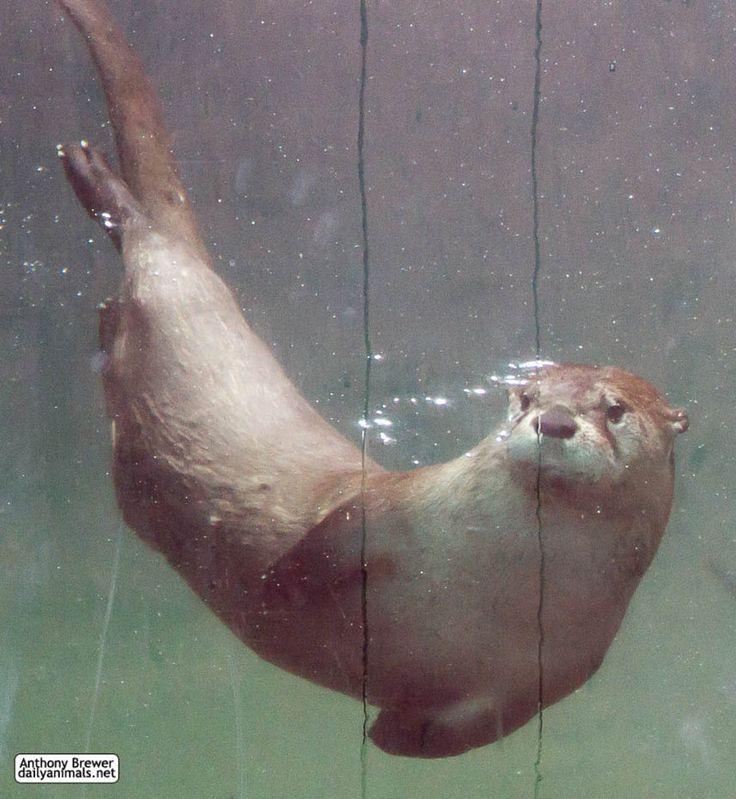 Underwater otter by ja...