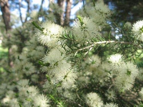 SWAMP-PAPERBARK-Melaleuca-ericifolia-