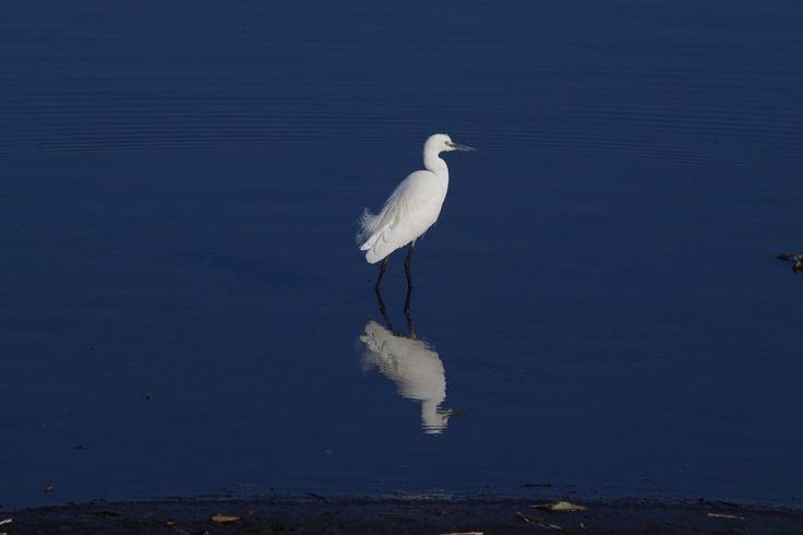 『多々良沼のコサギ』 今日は、まず足利伊勢神社に年の瀬詣でをして、ガバ沼へ。 白鳥はあまりいなかったけど、毎度…