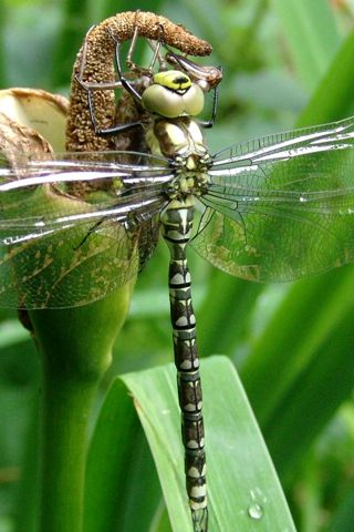 148 best images about closeups android wallpapers hd on - Free dragonfly wallpaper for android ...