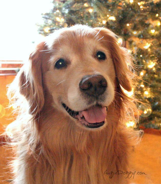 Tis The Season Dog Goldenretriever Caini