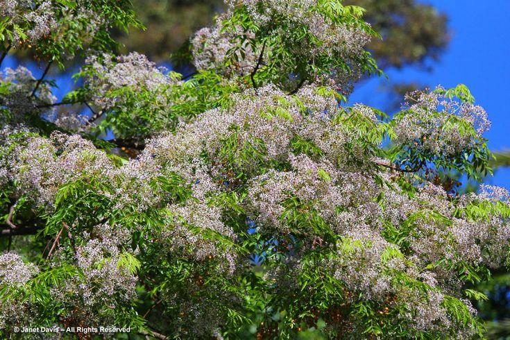 Syringa tree-Melia azedarach